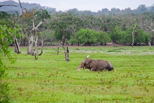 Sri Lanka Elefante, Elefante, Asia